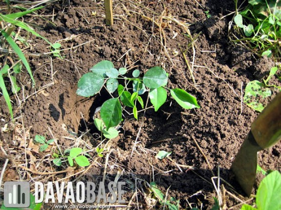 Chito planted a tree during the Trees Brew Life project of San Miguel Brewery Inc.