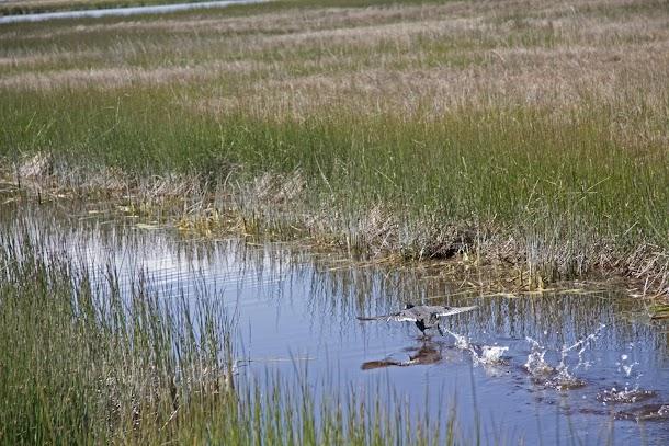 Single duck landing from flight