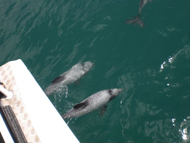 Dolphins Swimming at Bow