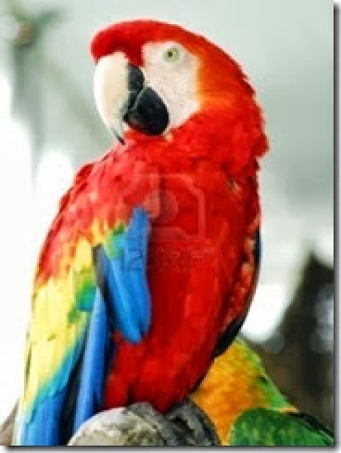 3542601-red-macaw-bird