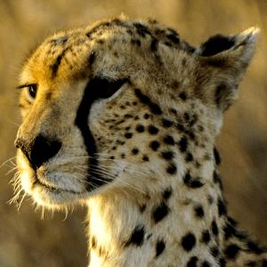 Download Cheetah Live Wallpaper Google Play softwares - a5BpQQMLdDyC | mobile9