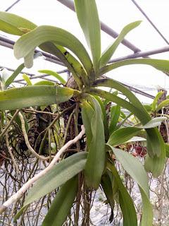 Hoa lan Ngọc Điểm - Nghinh Xuân - Đai Châu rừng trồng thuần tại vườn - 7