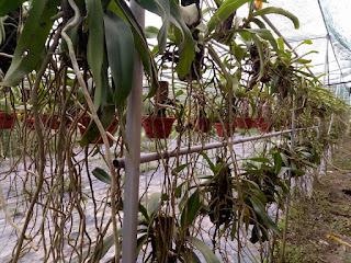Hoa lan Ngọc Điểm - Nghinh Xuân - Đai Châu rừng trồng thuần tại vườn - 13