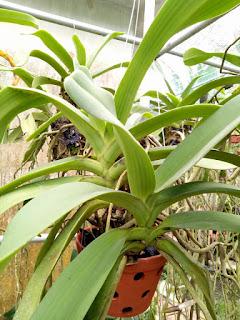 Hoa lan Ngọc Điểm - Nghinh Xuân - Đai Châu rừng trồng thuần tại vườn - 5