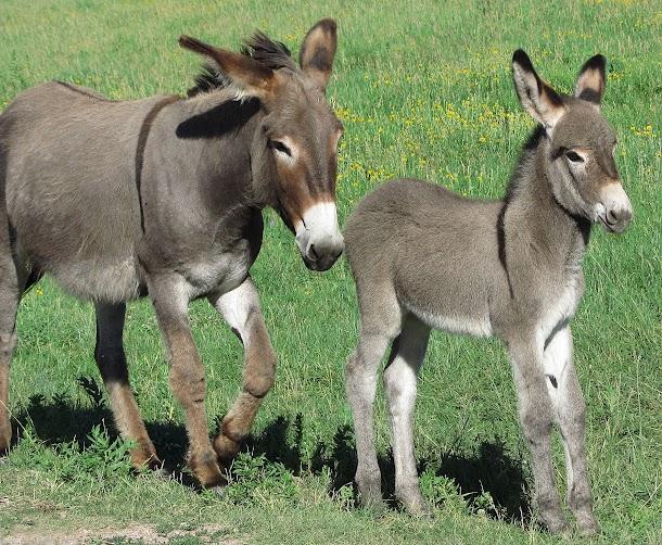 Mum & Baby Donkey