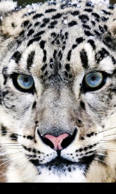 Leopard Live Wallpaper - Android Apps on Google Play