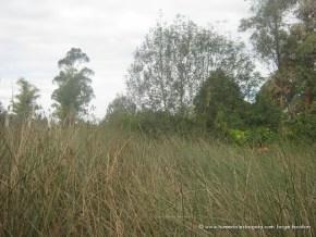 Juncos (Scirpus californicus)