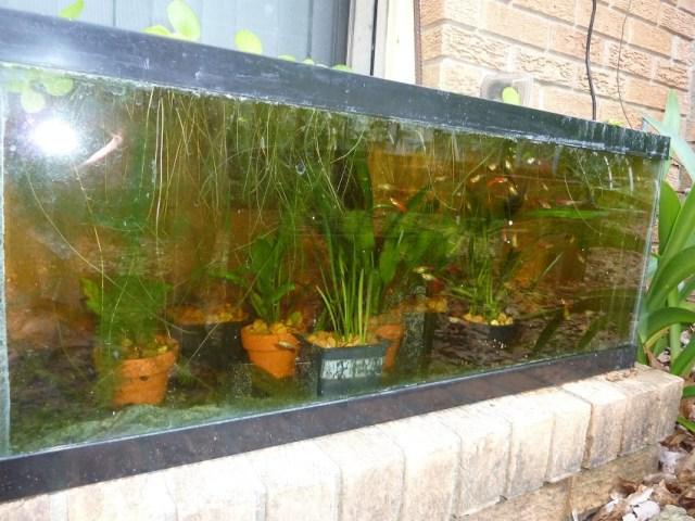 Thread:  in an Outdoor 20 Gallon Long Aquarium