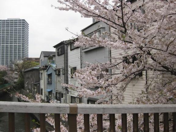 Cherry blossoms in Tsukishima, Tokyo