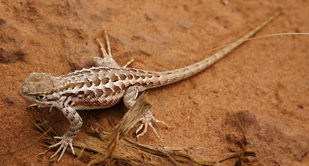 Canyonlands Lizard Two