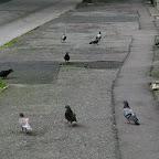 Pigeons on the sidewalk in Chorzów Stary.