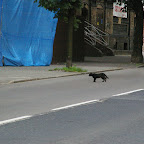 Black cat crossing the Bożogrobców Street just in front of a passing car.