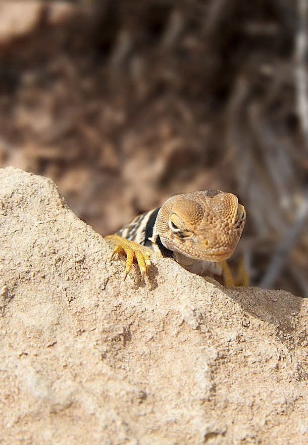 Canyonlands Lizard Four Peeking