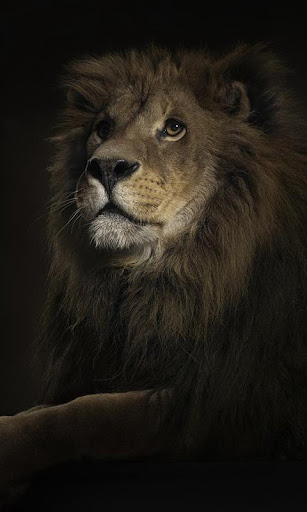Download Lions Live Wallpaper for PC