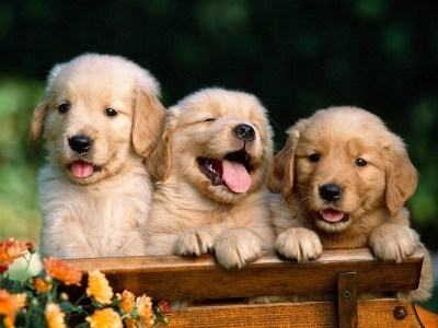 Cute Puppy Wallpapers HD - Android Apps on Google Play