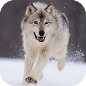 Arctic Wolf Live Wallpaper - Android Apps on Google Play