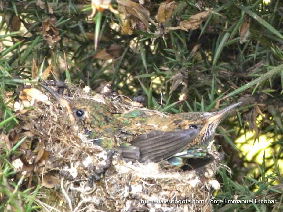 Nido de colibrí chillón