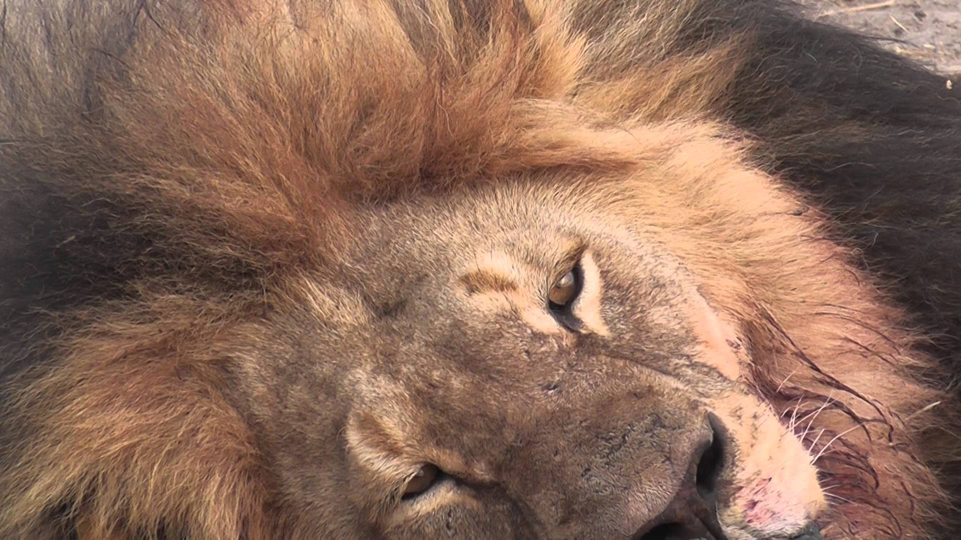 Minnesota Dentist Walter Palmer Accused of Killing Cecil The Lion, The True 'King of Lions'