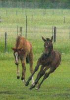 frolicking foals