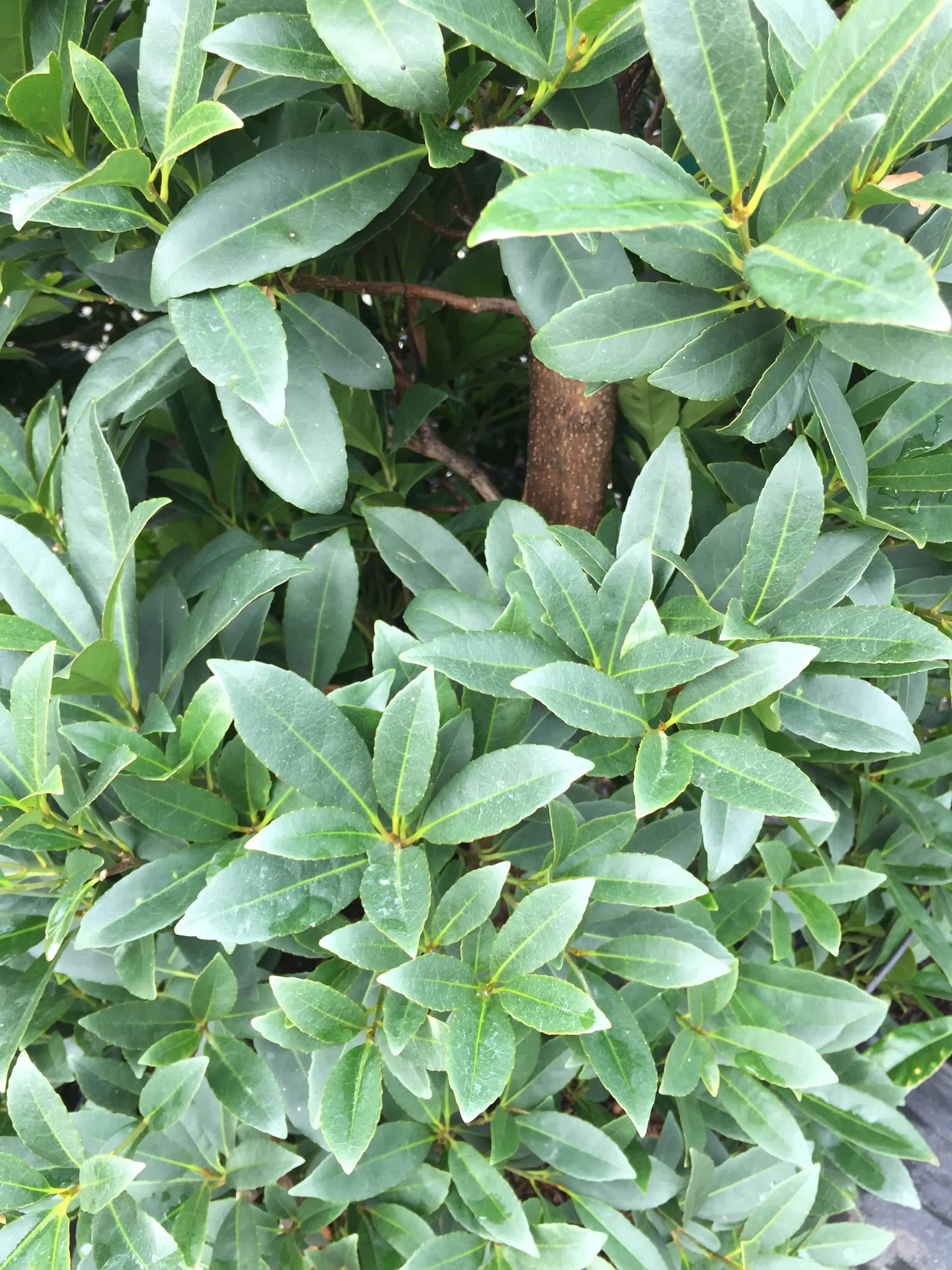 Fullsize Of Japanese Blueberry Tree
