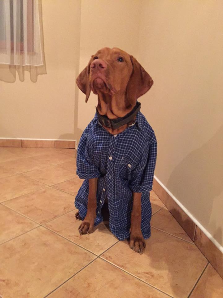 Nem lehet azt mondani, hogy a kutyát sem érdekli a tanárok ügye- Fibonacci a vizslára is ráadtak egy kockás inget