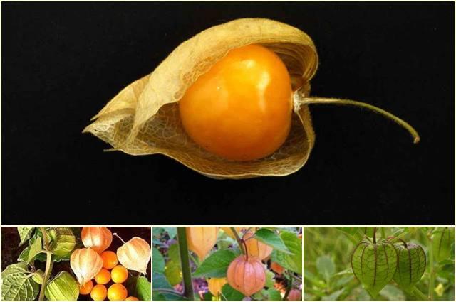 Ceplukan adalah tumbuhan liar yang bisa dimakan untuk survival.