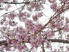 2011_04_cherry_blossoms-17