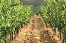 vineyard-corridor-view