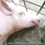 Bogo_PiggyFarm (23)
