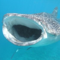 Whale shark festival comes to the Maldives