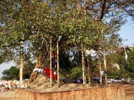 Jetavan Bodhi Tree