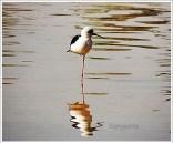 Hamirsar Lake Bird
