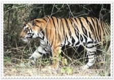 Bandhavgarh National Park Tiger Trail