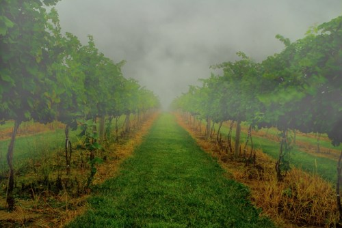 standing between brilliant green rows of grape vines early morning fog obscures the horizon
