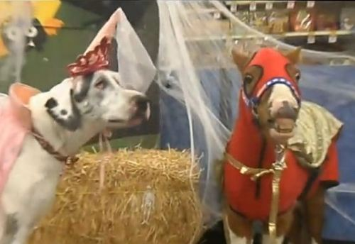 Bailey, the Harlequin Great Dane dressed as a princess, and Saber, the pinto Miniature horse stallion dressed as a super hero, pose in costume for their portrait.