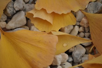 Fall leaves of the Gingko Tree