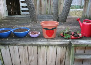 Image shows 2 bowls of potting soil, 1 small bowl of little rocks, a large decorated pot, a tray with 5 strawberry plants on it, and a watering can with a sieve nozzle.