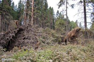 Поваленное дерево...корни метров 8 в высоту