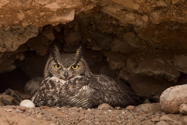 20140411-_a0r7642-great-horned-owl-4x6