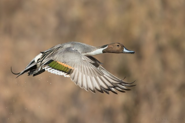 20141119-_a0r3065-northern-pintail-4x6