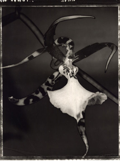 "Frazier King -  Brassia ondontglossam Longlen, selenium-toned GSP, Ed. 8/20, image 18.5""x14"""