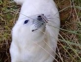 First seal pup of the year born at Donna Nook