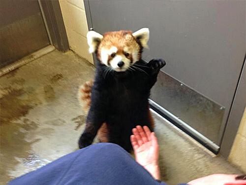 Red panda Pip waving hello!