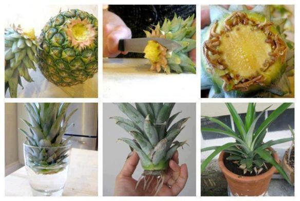 dyrke ananas