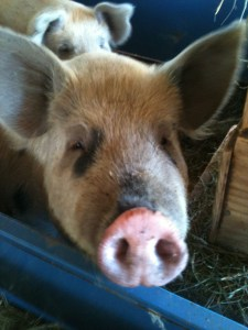 raising heritage breed pigs in VT