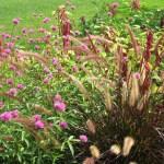 gomphrena Fireworks and Pennisetum rubrum