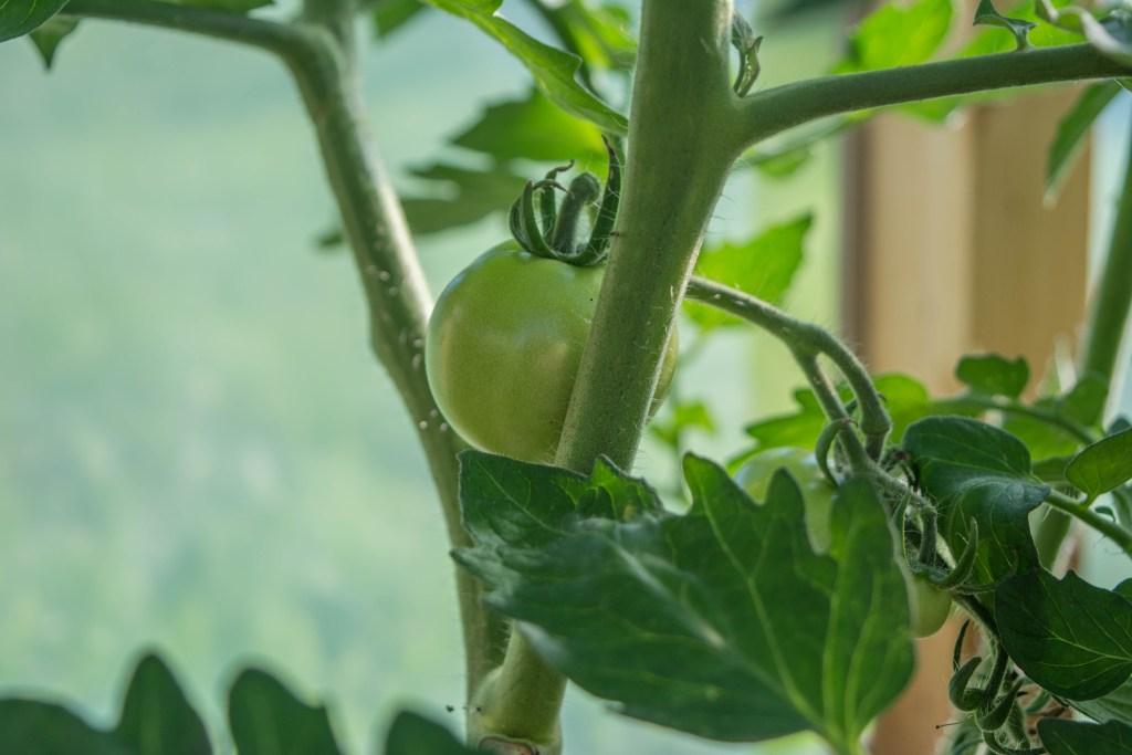 Esimesed tomatid