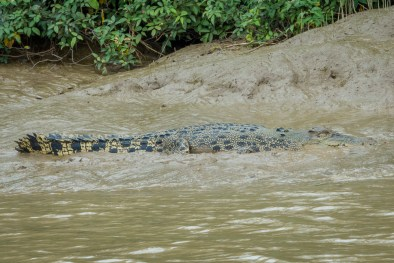 Crocodile On The Banks Of The Adelaide River