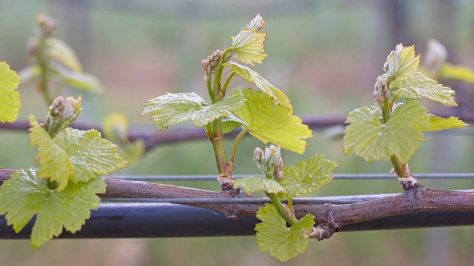 Chardonnay Grapevine Budbreak