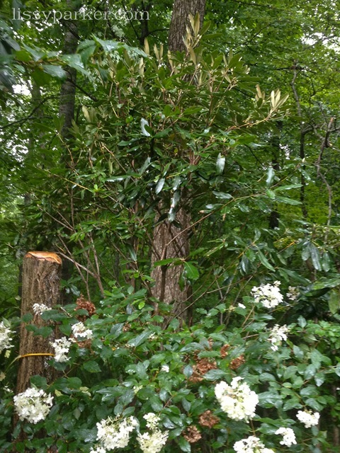 This rhododendron is about 10 feet tall and anchors a fence corner